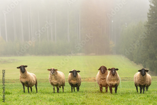 a group of sheep on a pasture stand next to each other and look into the camera Fototapete