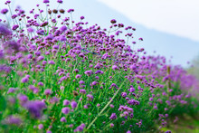 Beautiful Purple Verbena Flowe...