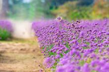 Beautiful Purple Verbena Flowe...