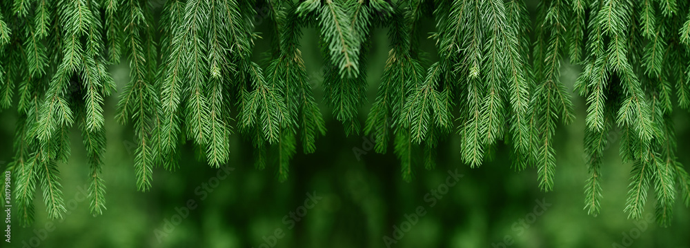 Fototapeta Fir or pine christmas and new year holiday green  backdrop