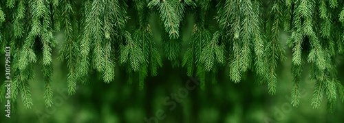 Fotografia  Fir or pine christmas and new year holiday green  backdrop