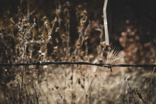 Wild Grass And Barb Wire Fence