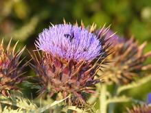 Bee On A Artichoke
