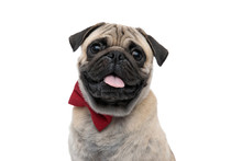 Happy Pug Sticking Out Tongue ...