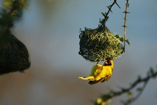 A Southern Masked Weaver - African Masked Weaver (Ploceus Velatus) Building The Nest. Weaver Is Hanging From The Nest.
