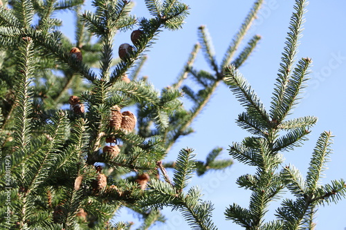 Closeup of a fir branch with fir cones and blue sky background in winter Wallpaper Mural