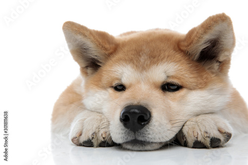 Close up of an upset Akita Inu waiting Canvas Print