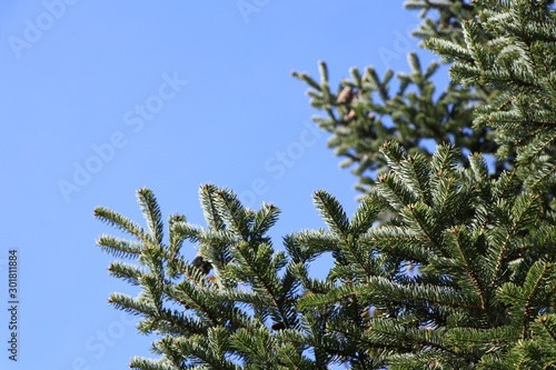 Green acicular branch of a christmas tree, blue sky background, copy space Wallpaper Mural