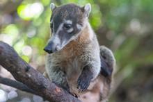 Coati Sitting On A Tree