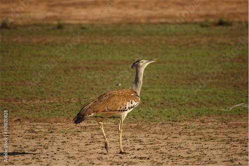 Fotografie, Obraz The kori bustard (Ardeotis kori) walking on red hot sand in Kalahari desert