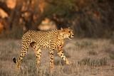 Fototapeta Sawanna - The cheetah (Acinonyx jubatus) feline walking across the sand way in Kalahari desert in the evening sun. Cheetah female in the evening sun.