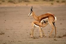 Springbok Mother (Antidorcas M...