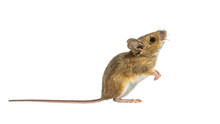 Interested Mouse Isolated On White Background