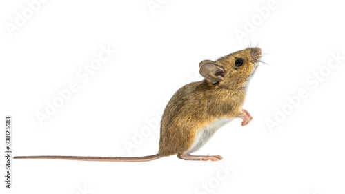 Fotografie, Obraz Interested mouse isolated on white background