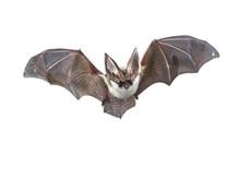 Flying Grey Long Eared Bat Iso...