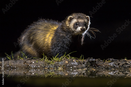 Fototapeta European polecat in darkness