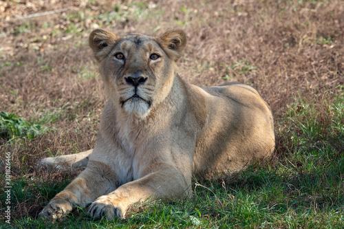 Fototapeta Asiatic lioness (Panthera leo persica). A critically endangered species. obraz