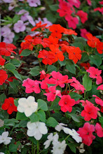 Garden Border Of Impatiens.