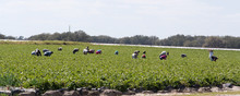 Strawberry Pickers At A Field ...