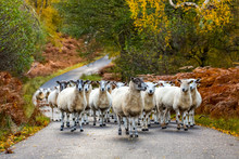 Autumn In Glen Strathfarrar, Scottish Highlands, UK. A  Flock Of Highland Mule Sheep With Grown Lambs On The Single Track Road. Horizontal.  Landscape.  Space For Copy.