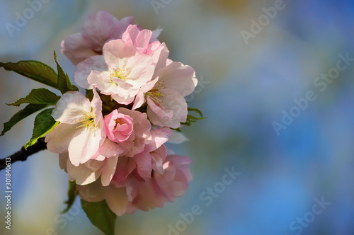 Blooming cherry tree branch on a blurred background #301840613