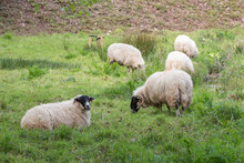 Sheep Lying And Grazing In A F...