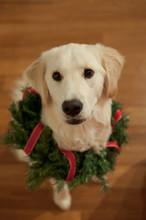 Golden Retriever Dog With Wreath Around Neck