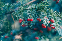 Coniferous Tree Branch With Re...