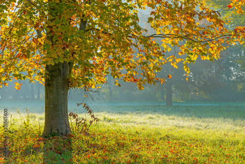 Fototapety, obrazy: Trees in fall colors in a green grassy field in sunlight in autumn