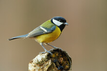 Beautiful Great Tit (Parus Major)