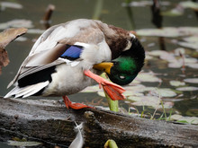 Wood Ducks Enjoying The Day