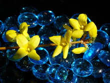 Closeup Of Yellow Forsythia Flower Branch With Blue Glass Beads