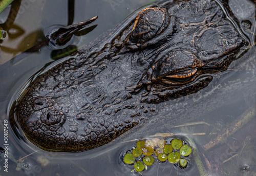 Aligator Head Close-up, Lake Seminole Park, Florida