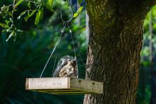 Eastern Gray Squirrel (Sciurus...