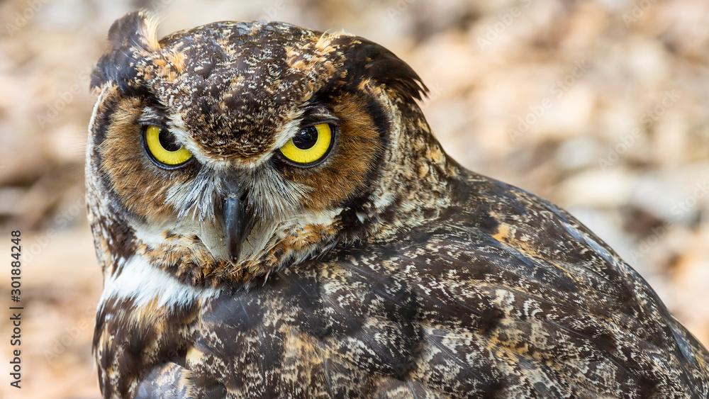 Fototapeta portrait of a great horned owl