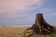The Dry Tree Big Roots On A Sa...