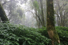 Angkha Nature Study Route, Tropical Rain Forest At Doi Inthanon National Park, Chiang Mai Province, Thailand