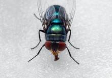 Macro Photo Of Blowfly On White Floor