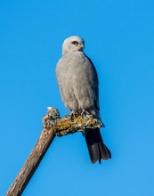 Mississippi Kite With Blue Sky Backgroune