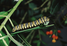 Monarch Butterfly Larva Caterpillar (Danaus Plexippus)