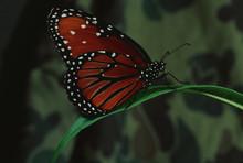 Queen Butterfly (Danaus Gilipp...