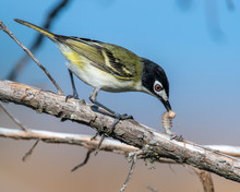 Male Black Capped Vireo With W...