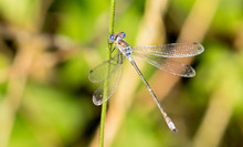 Nice Macro Photo Of A Dragonfly With Blue Tones And Transparent Wings