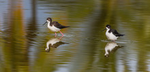 Hawaiian Stilts In Shallow Pond