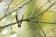 Nice Bird Flycatcher Perched O...