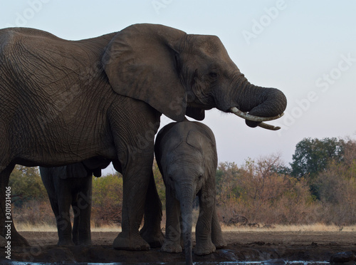 Photo  Beautiful Images of of African Elephants in Africa