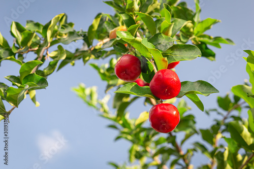 Photo Red cherry Thai or Acerola cherries fruit on the tree, high vitamin C and antioxidant fruits