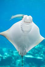 Close Up Of A Bat Ray Swimming...