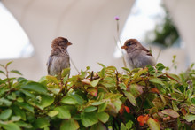 Two Tousled Sparrows Angry Look At Each Other