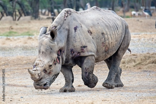 big and strong rhino after the fight Canvas-taulu